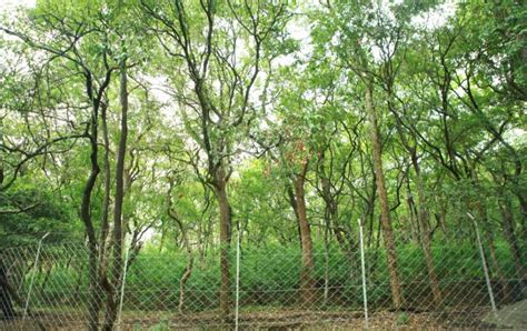 sandal wood tree sandalwood chandan tree farming process profit