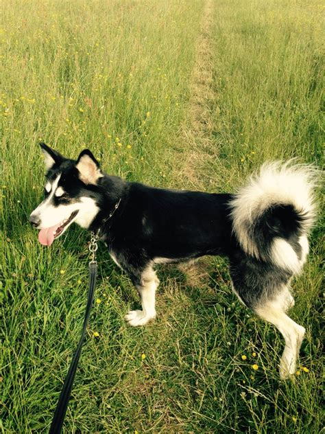 alusky puppies for sale alusky for sale in hereford hereford herefordshire pets4homes