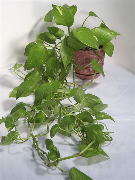 common house plants that are poisonous to cats pothos house plants toxic to cats