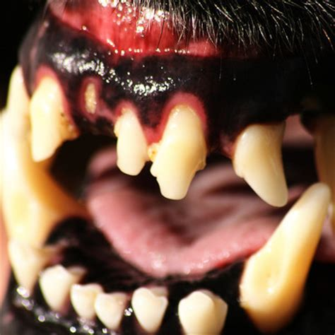how many sets of do puppies get how many sets of teeth do dogs get globalquiz org