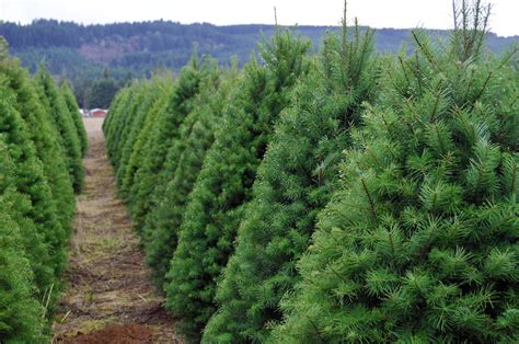 where to cut your own christmas tree this year little