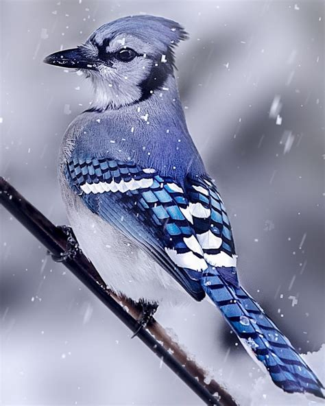 blue jay bird in snow www pixshark com images