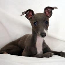 italian greyhound colors grey italian greyhounds www pixshark images