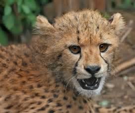 File cheetah cub close up edit2 jpg wikipedia the free encyclopedia