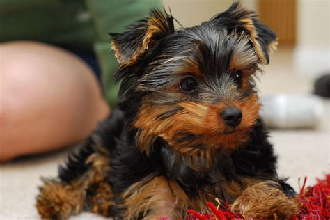 taking care of a yorkie puppy image gallery newborn yorkie pups