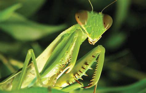 Praying Mantis L by Mantis Environment Places