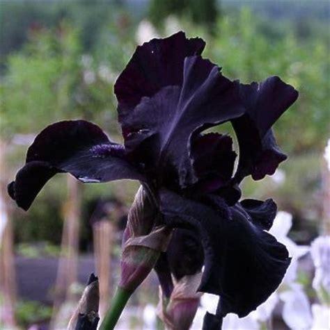 pin by amanda n on iris bearded iris plant bulb rhizome before the