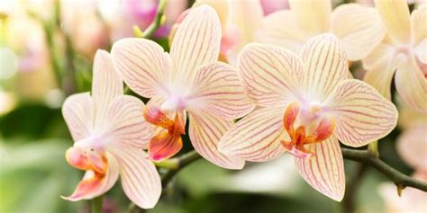 come coltivare orchidee in vaso orchidea come coltivarla in casa e in giardino