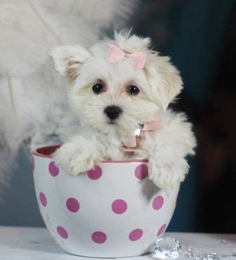 maltese puppies for sale in dallas best 25 teacup maltese for sale ideas on maltese puppies for sale
