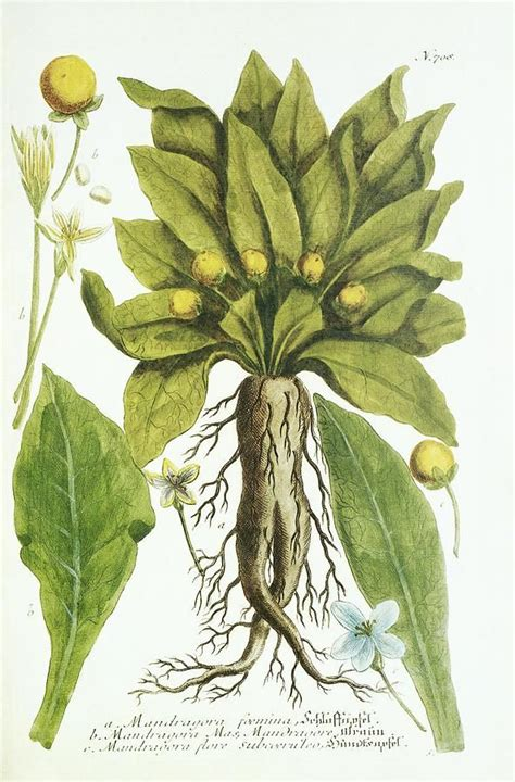 mandrake plant historical artwork print