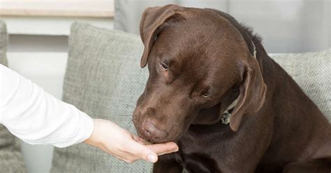 can dogs corn can dogs eat corn a food safety guide from the labrador site