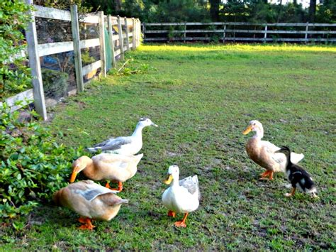 How Toxic Plants Can Harm Backyard Ducks Hgtv