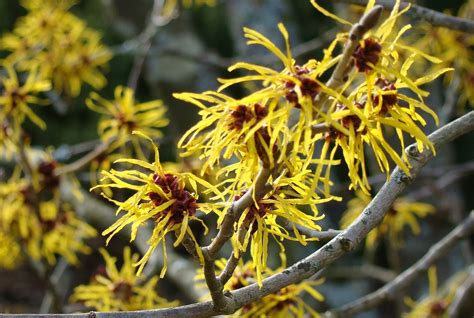 witch hazel bush care information on witch hazel growing requirements