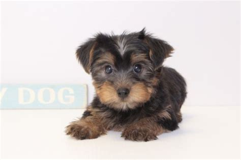 yorkie puppies for sale naples fl view ad terrier puppy for sale florida naples usa