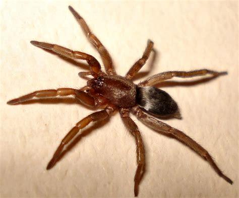 Garden Spider Toxicity Scotophaeus Blackwalli