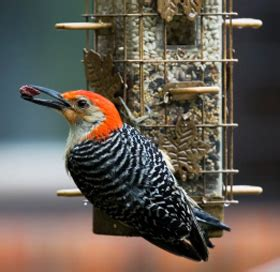red bellied woodpecker description diet and nesting