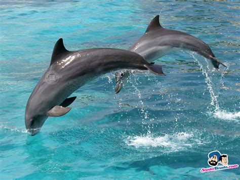 and dolphin dolphins wallpaper 2