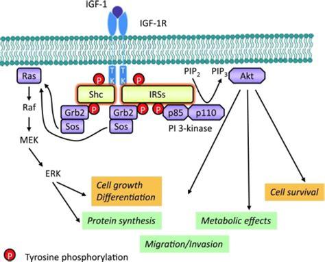 protein 4 1r igf 1r kinase dependent signaling pathways igf 1 or i