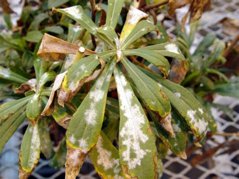 common house plant fungus two common houseplant diseases horticulture and home