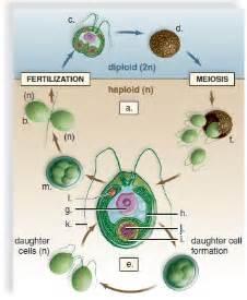 chlamydomonas cycle diagram 1000 images about algae on