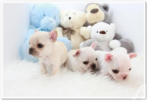 bulldog puppies for sale los angeles akc miniature bulldog puppies for sale in los angeles california classified
