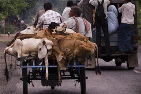 Mainan Sapi Milk Cow By Raja 10 reasons to say no to animal gifts for hunger