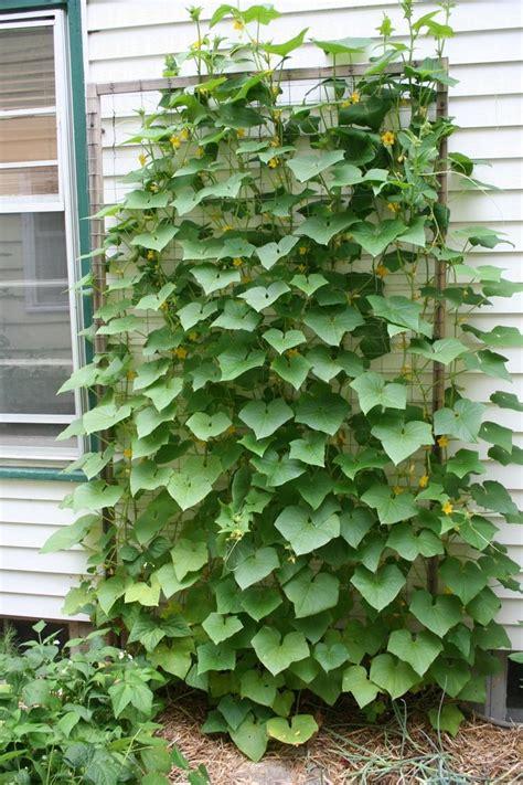 Planting Climbing Beans - cucumber plants trellis gardening pinterest