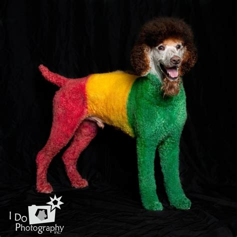 how to do a bob marley poodle cut on a dog 17 best images about extreme poodles on pinterest