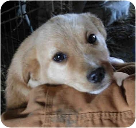 golden retriever terrier mix puppy golden retriever mix puppies adopted puppy mo golden retriever