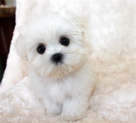 maltese puppies for sale in sc pin teacup maltese for sale puppies tiny micro on