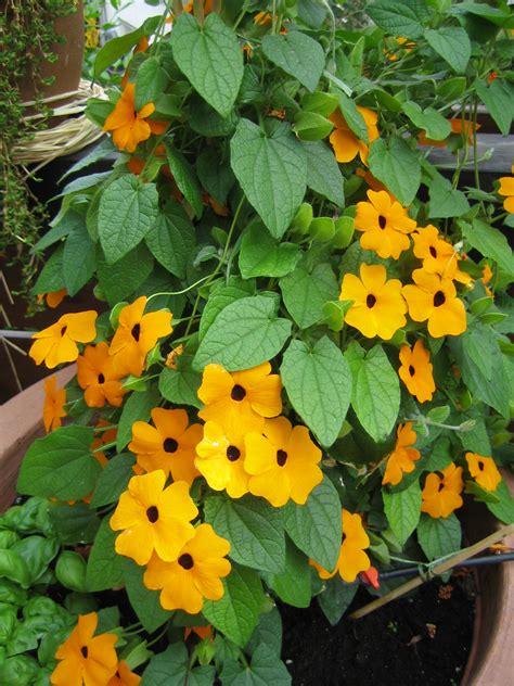 kletterpflanze schattig winterhart saisonbepflanzung tipps und tricks f 252 r haus und garten