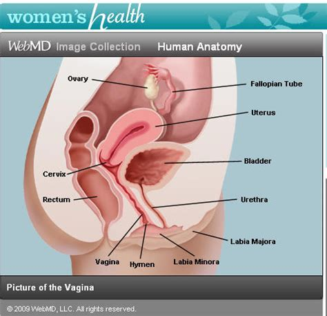 diagram hymen hymen where is it what does it look like