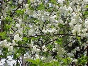 White Flowering Tree - gallery for gt white flowering trees identification