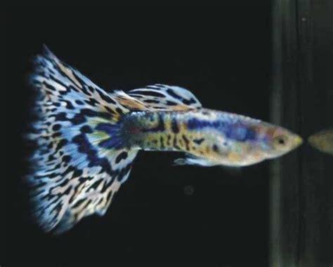 Anakan Ular Kobra jenis dan harga ikan guppy binatang peliharaan