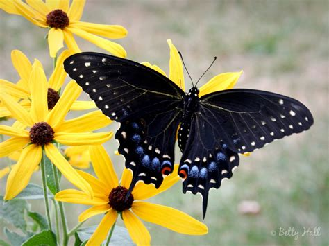 black swallowtail butterfly butterfly life cycles betty hall photography