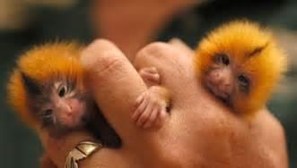 cool animals pictures finger monkeys