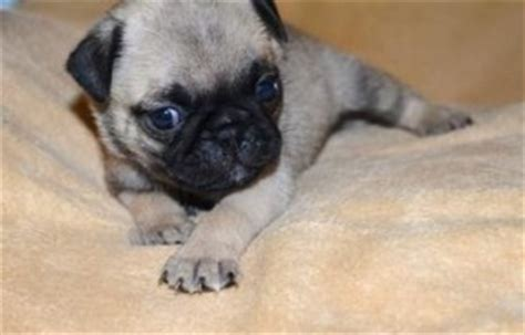 black pug puppies for sale in ohio dogs ashtabula oh free classified ads