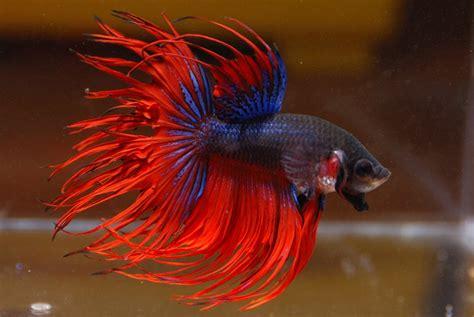 Pakan Ikan Cupang Agar Galak 7 gambar jenis dan cara ternak ikan cupang kang suhe s
