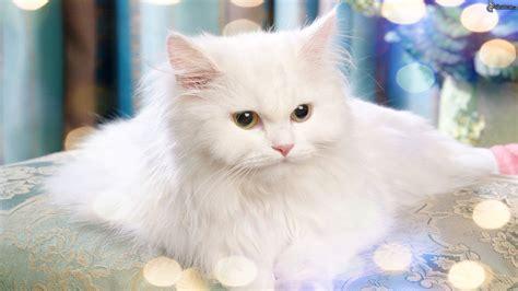 imagenes en blanco de gatos gato blanco