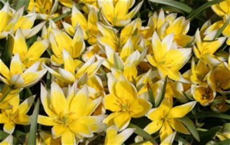 rodent and deer resistant bulbs flower bulb crazy