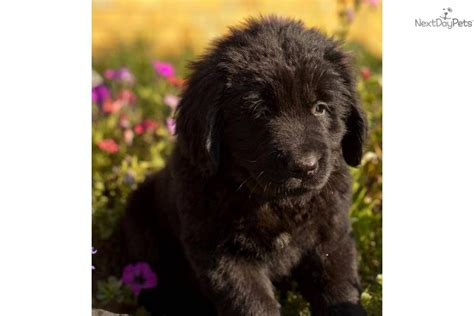 newfoundland puppies for sale in ohio newfoundland pups in ohio