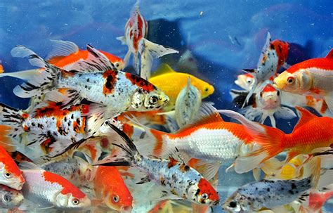 Pakan Ikan Gurame Hias warna warni ikan hias komet bibitikan net