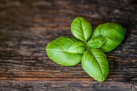 come curare il basilico in vaso tutti i segreti per coltivare il basilico in vaso