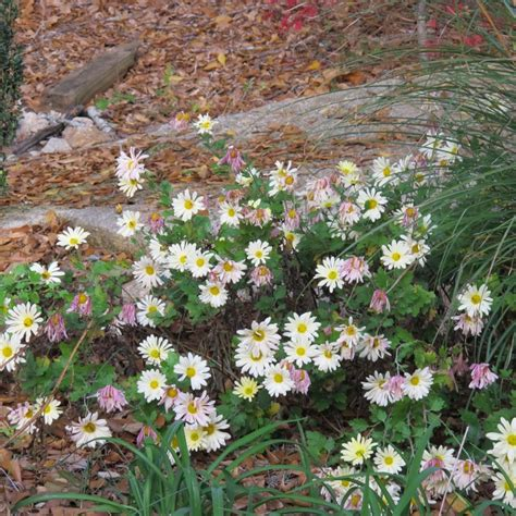 fall garden mums 8 best images about yard on gardens front