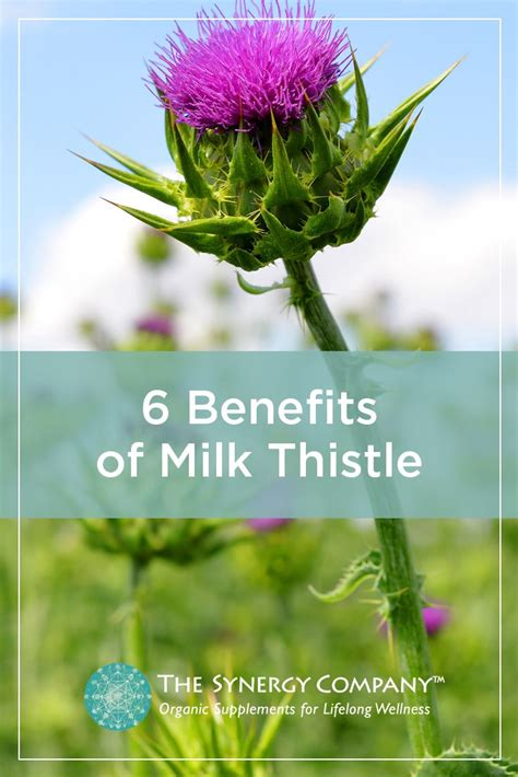 How Much Milk Thistle While On A Candida Detox best 25 thistle ideas on thistle flower