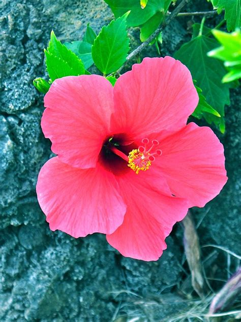 What Is Hawaii S State Flower With Pictures | nothing is complete without hawaii s state flower