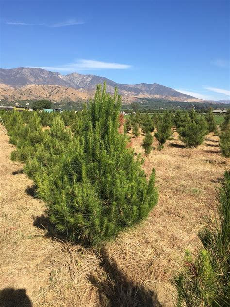 santa paula christmas tree farms 193 rboles de navidad