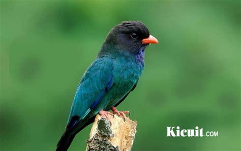 Burung Tengkek Buto suara burung tengkek buto buat masteran kicuit