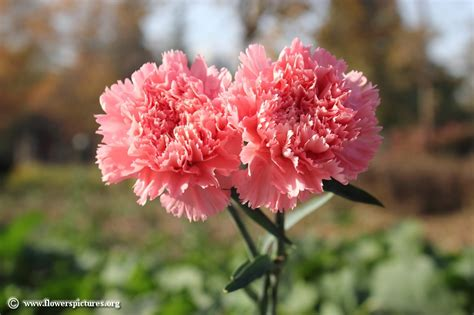 wallpaper bunga carnation wangi dan indah ini bunga simbol bulan kelahiran kamu