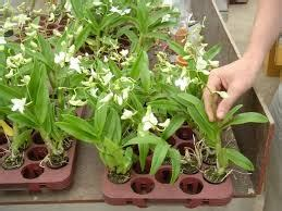 Cara Merawat Tanaman Anggrek tanaman hias buah cara menanam dan pembibitan tanaman
